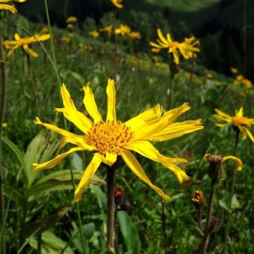 Arnica – the King of Remedies